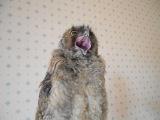 (Ушастая сова) Мой Совелий пытается отрыгнуть погадку и звеает :з кавай :з